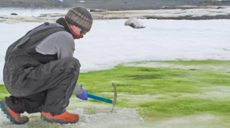 Zielony śnieg na Antarktydzie - niezwykłe zjawisko widoczne z kosmosu