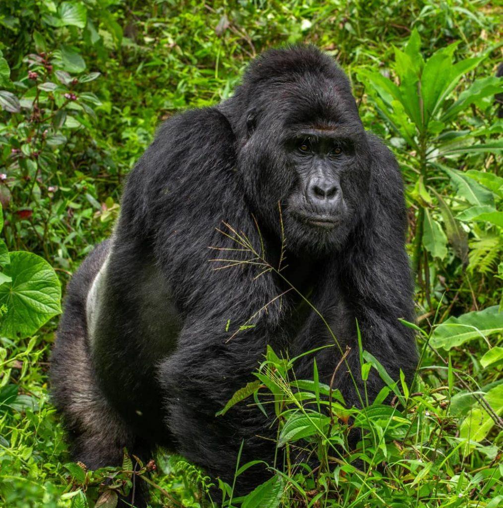 Goryl Rafiki zamordowany przez kłusowników w parku narodowym