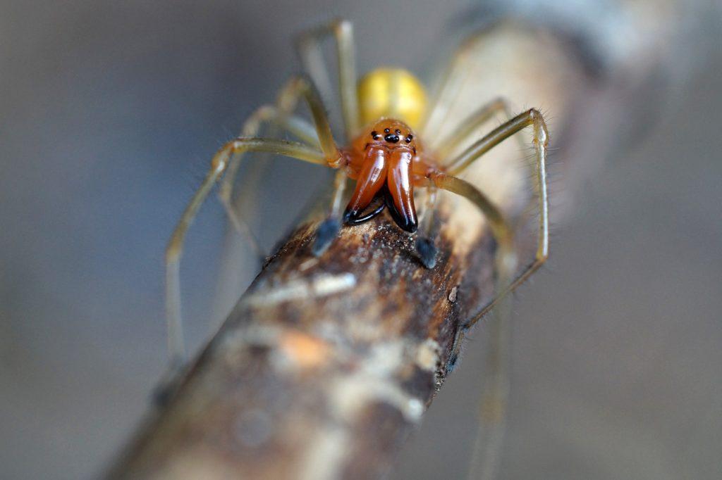 Kolczak zbrojny - skąd we Wrocławiu wzięły się jadowite pająki?