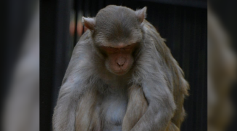 Małpa Kaula