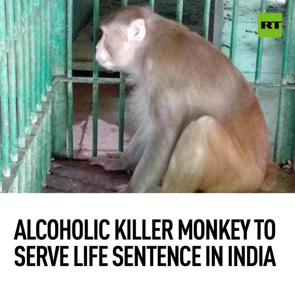 Małpa zabiła człowieka - Kaula skazana na dożywocie w samotności