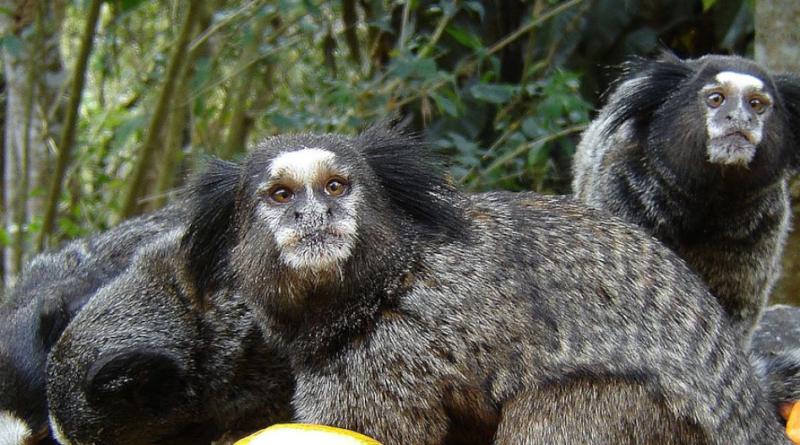 Małpy i modyfikacja genetyczne - wszczepili zwierzętom ludzkie DNA