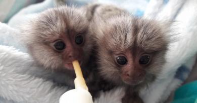Małpy i modyfikacja genetyczne