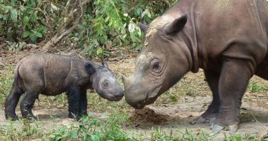 Zagrożone gatunki zwierząt - nosorożec sumatrzański za chwilę wyginie całkowicie