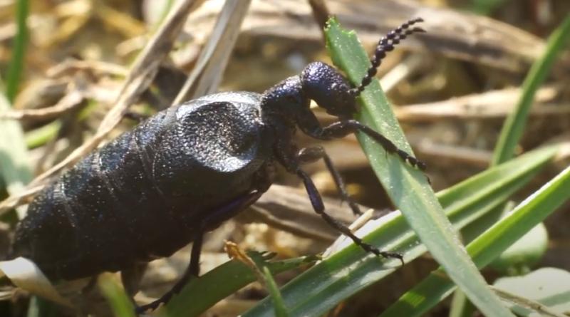 Oleica krówka - jej trucizna może poważnie zaszkodzić