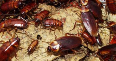Karaluchy w Warszawie - Ursynów walczy z plagą. Warszawa musi przygotować się na wojnę z karaluchami i prusakami?