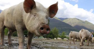 Świnia 3.0 i edycja genów zwierząt - przełom w transplantologii?