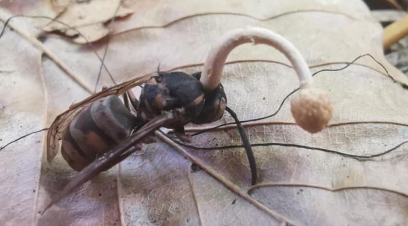 Grzyb Ophiocordyceps ditmarii w Polsce - zamienia owady w zombie