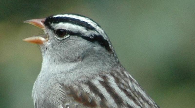 Jak koronawirus zmienił śpiewa ptaków - pasówka białobrewa brzmi bardziej seksownie!