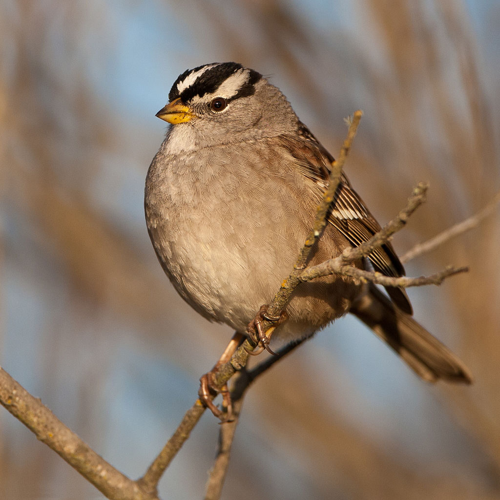 Pasówka białobrewa - koronawirus zmienił śpiew ptaków?