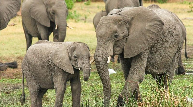 Śmierć słoni w Afryce - zabijają je sinice?