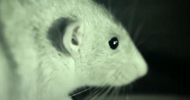 Dżuma w Chinach - szczury zaczną nową epidemię?