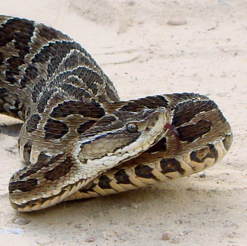 Najgroźniejsze węże świata