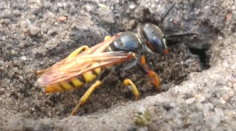 Taszczyn pszczeli brutalnie poluje na pszczoły miodne