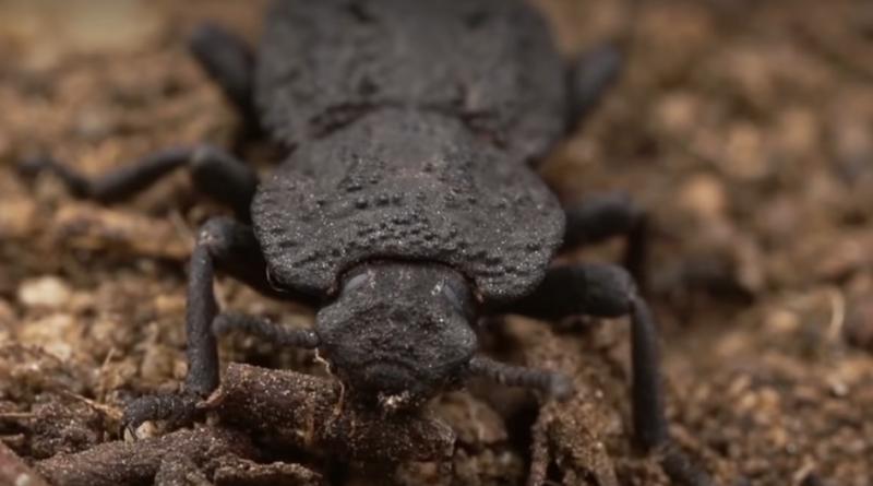 Pancerny chrząszcz Phloeodes diabolicus