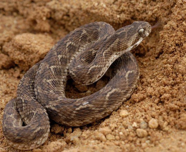 Efa piaskowa to najgroźniejszy wąż na świecie?