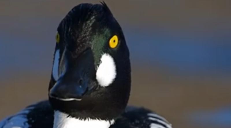 Gągoł czyli niezwykła polska kaczka.Ten śpiew zapada w pamięć