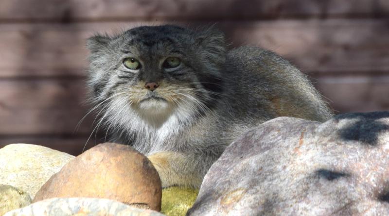 Zoo w Poznaniu - manul uciekł, trwają poszukiwania
