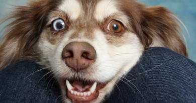 Psy i badania naukowe - czy rozpoznają twarz właściciela?
