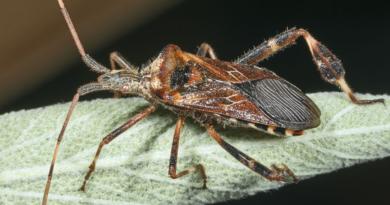 Wtyk amerykański - cuchnące owady wchodzą do domów