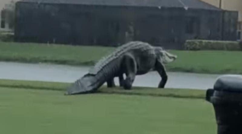 Floryda i wielki aligator na polu golfowym