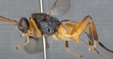Nowy gatunek osy Microgaster godzilla