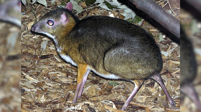 Myszojeleń (kanczyl jawajski) w zoo w Warszawie - kanczyl jawajski to bardzo rzadki gatunek