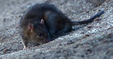 Wrocław i szczury - czy deratyzacja we Wrocławiu pomoże pozbyć się szkodników?