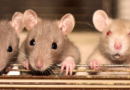 Nowy wirus HAnta w Europie: hantawirus SEOV z Chin