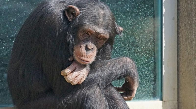 Szympansy w Afryce chore na trąd - jak doszło do zarażenia?