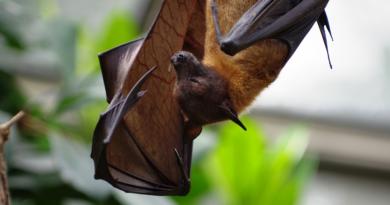 Odzwierzęcy wirus Nipah to kolejna pandemia po COVID-19? Nietoperze są ogromnym zagrożeniem epidemicznym w Azji