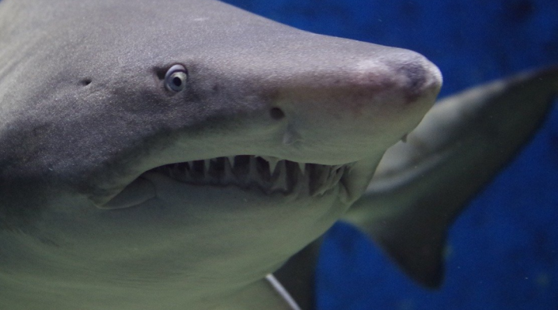 Rekiny i kolejne gatunki zagrożone wyginięciem. Populacja rekinów na świecie drastycznie spada