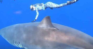 Deep Blue czyli największy żarłacz biały na świecie. Ten rekin jest kluczem do ocalenia gatunku?