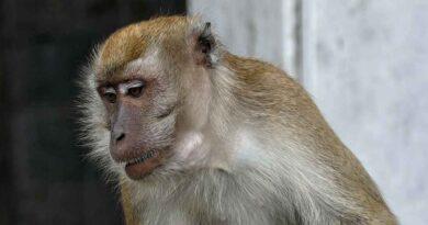 Niemcy i małpy modyfikowane genetycznie. Rozwijają u zwierząt objawy chorób