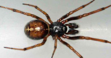 """Zyzuś tłuścioch, czyli """"fałszywa czarna wdowa"""" i """"pająk grajek"""". Niezwykły pająk żyjący w Polsce"""
