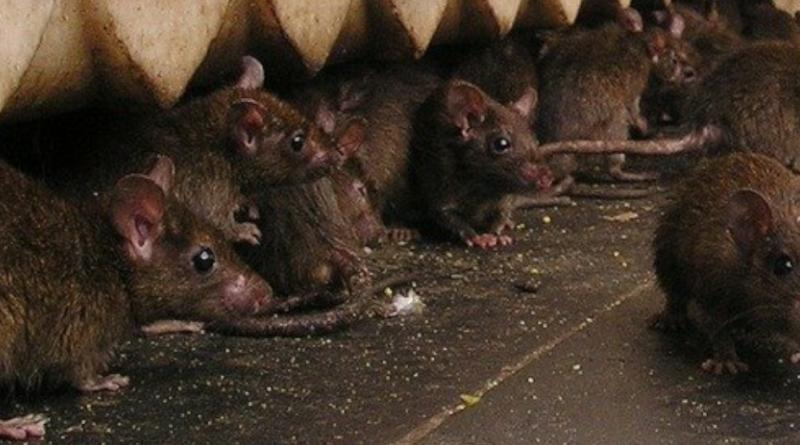 Szczury i plaga w Madrycie. Hiszpania walczy z plagą gryzoni przez śnieżyce i COVID-19