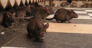Świątynia szczurów w Indiach. Czy szczury nie przenoszą tam chorób?