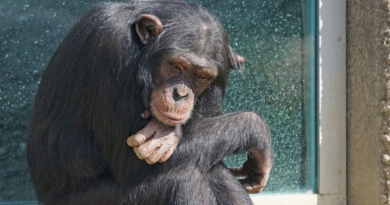 Szympansy i nowa choroba. Tajemniczna bakteria ma śmiertelność 100% u chorych małp
