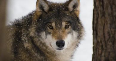 Wilki w Polsce i rosnący problem. dlaczego wilk z Białowieży podchodzi do domów i nie boi się ludzi?