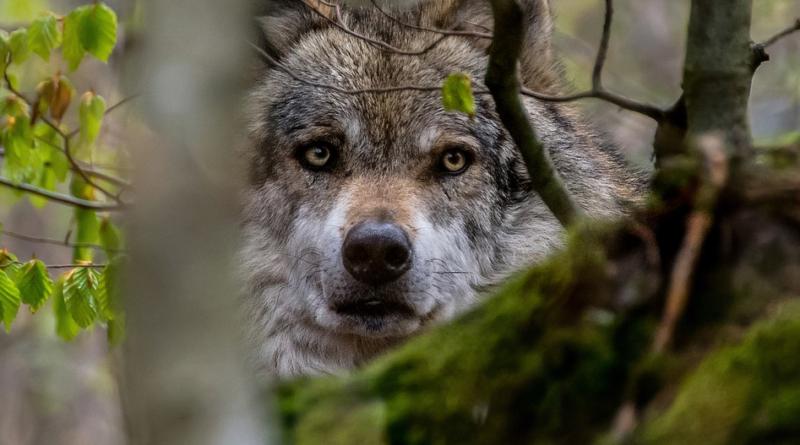 Wilki w Polsce i rosnący problem. Ludzie zabierają wilcze szczenięta i próbują krzyżować je z psami