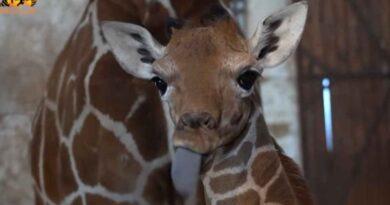 Wrocławskie zoo - nowa żyrafa siatkowana Inuki. Dwumetrowy maluch na wybiegu