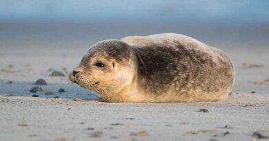 Mała foka w Rosji zagłaskana na śmierć. Szokujące WIDEO