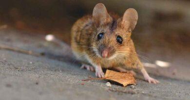 Niemcy: tulawirus od myszy polnej u człowieka. Pierwszy przypadek na świecie
