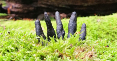 """""""Palce umarlaka"""" w polskich lasach. Czym jest ten straszny grzyb?"""