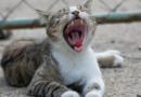 Choroba kociego pazura - jakie daje objawy i czy jest groźna dla człowieka?